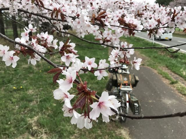 二十間道路桜並木